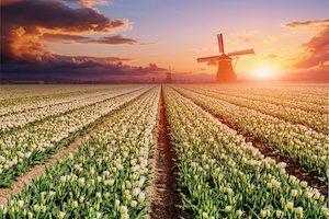 White plantation of tulips at sunset. Holland.