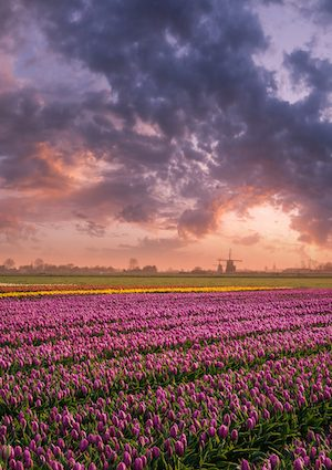 Spring landscape with boudless fields of tulip, colorful sunrise over floral world